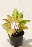 Aglaonema Plant in pot Stock Photos
