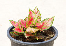 Aglaonema Plant in pot Stock Photography