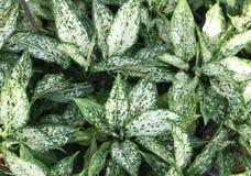 Aglaonema rośliny tło Fotografia Stock