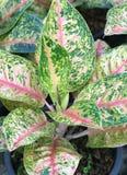 Aglaonema rośliny tło Obraz Royalty Free