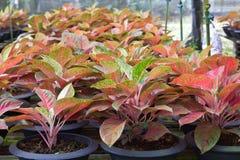 Aglaonema roślina Zdjęcia Royalty Free