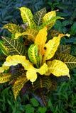 Aglaonema roślina, Zdjęcie Stock