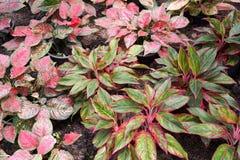 Aglaonema roślina w natura ogródzie Zdjęcie Royalty Free