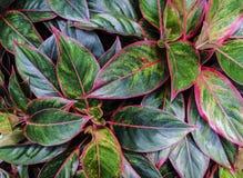 Aglaonema roślina w ogródzie Zdjęcie Stock