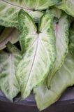 Aglaonema rośliny Fotografia Stock