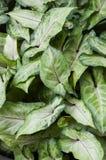 Aglaonema rośliny Obrazy Stock