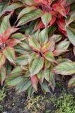 Aglaonema rośliny Zdjęcia Stock