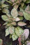 Aglaonema rośliny Zdjęcia Royalty Free