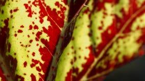 Aglaonema tekstury liść Zdjęcia Royalty Free