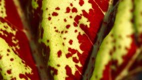 Aglaonema tekstury liść Zdjęcie Stock