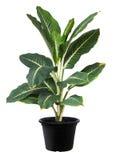 Aglaonema, Zielonej liść drzewnej rośliny świeża natura Obrazy Royalty Free