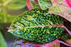 Aglaonema, Zielonej liść drzewnej rośliny świeża natura Zdjęcie Royalty Free