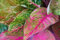 Aglaonema, Zielonej liść drzewnej rośliny świeża natura Zdjęcia Royalty Free