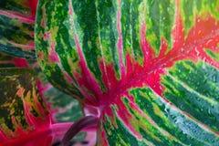 Aglaonema, Zielonej liść drzewnej rośliny świeża natura Zdjęcia Stock