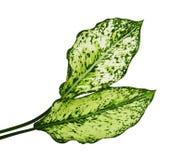 Aglaonemalövverk, kinesisk evergreen för vårsnö, exotiskt tropiskt blad som isoleras på vit bakgrund med den snabba banan fotografering för bildbyråer
