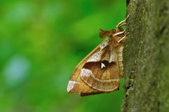 Aglia tau. Beauty moth sitting on tree cortex royalty free stock photography