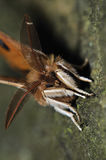 Aglia tau. Closeup moth head detail from front view stock photos