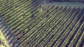 Aglianico vineyard stock footage