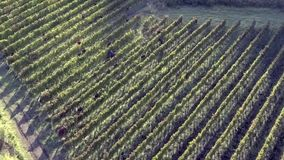 aglianico Weinberg stock footage