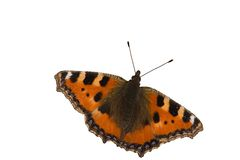 Aglias urticae. Isolated image of a butterfly named small tortoiseshell or Aglias Urticae(latin Stock Photography