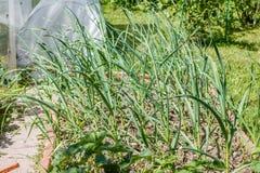 Aglio (alium sativum) fotografia stock libera da diritti