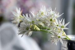 Aglio del ` s dell'orso di ursinum dell'allium in fioritura Fotografie Stock
