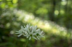 Aglio del ` s dell'orso di ursinum dell'allium in fioritura, luce solare Fotografia Stock