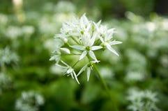 Aglio del ` s dell'orso di ursinum dell'allium in fioritura, luce solare Fotografia Stock Libera da Diritti