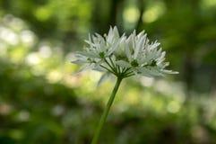 Aglio del ` s dell'orso di ursinum dell'allium in fioritura, luce solare Fotografie Stock