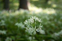 Aglio del ` s dell'orso di ursinum dell'allium in fioritura, luce solare Immagini Stock