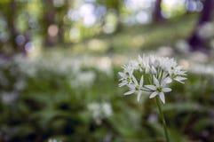 Aglio del ` s dell'orso di ursinum dell'allium in fioritura, luce solare Immagine Stock Libera da Diritti