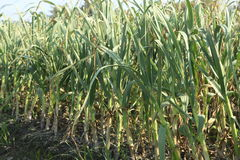 Aglio nel campo, liliaceae Fotografia Stock Libera da Diritti