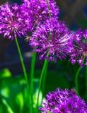 Aglio olandese del ` porpora di sensazione del ` di hollandicum dell'allium o cipolla persiana in un'aiola Fotografia Stock