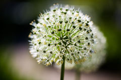 Aglio ornamentale bianco, allium nel giardino botanico Immagini Stock