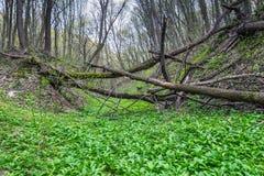 Aglio orsino - aglio selvaggio (ursinum dell'allium) Fotografia Stock