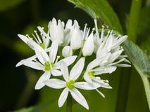 Aglio selvaggio di fioritura, ursinum dell'allium, fiori in primo piano dell'erbaccia, fuoco selettivo, DOF basso Immagini Stock Libere da Diritti