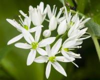 Aglio selvaggio di fioritura, ursinum dell'allium, fiori in primo piano dell'erbaccia, fuoco selettivo, DOF basso Immagini Stock