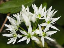 Aglio selvaggio di fioritura, ursinum dell'allium, fiori in primo piano dell'erbaccia, fuoco selettivo, DOF basso Fotografia Stock