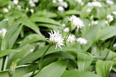 Aglio selvaggio - (ursinum dell'allium) fotografia stock libera da diritti