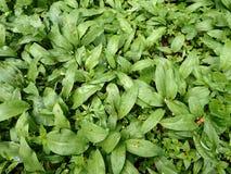 Aglio selvaggio (ursinum dell'allium) Fotografia Stock