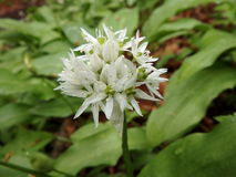 Aglio selvaggio (ursinum dell'allium) Immagini Stock