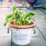 Aglio selvaggio in vaso di fiori sul terrazzo del giardino, all'aperto Coltivazione delle piante aromatiche Immagini Stock