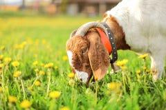 Aglo Nubian / boer goat male, bell on its neck, grazing at sun l. It meadow full of dandelions stock photo