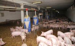 Aglriculture Κτηνοτροφική παραγωγή στο αγροτικό ζωικό αγρόκτημα Στοκ φωτογραφία με δικαίωμα ελεύθερης χρήσης