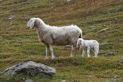Agneau avec sa mère Photos libres de droits
