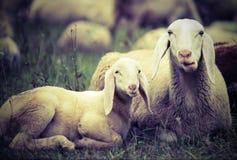 agneau avec sa mère au milieu du troupeau Photos stock