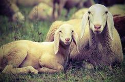 agneau avec sa mère au milieu du troupeau Photo stock