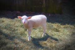 Agneau blanc de portrait de moutons dans les animaux d'élevage d'agriculture de foin Photographie stock