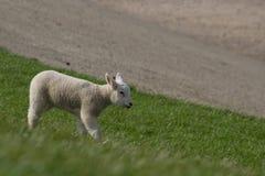 Agneau blanc marchant outre de la digue Image stock