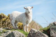 Agneau dans le printemps image libre de droits